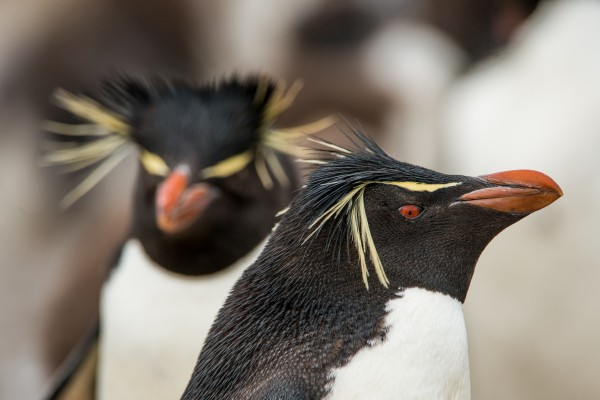 Southern Rockhopper Penguins (Eudyptes chrysocome chrysocome). Pebble Island, Falkland Islands/Islas Malvinas.