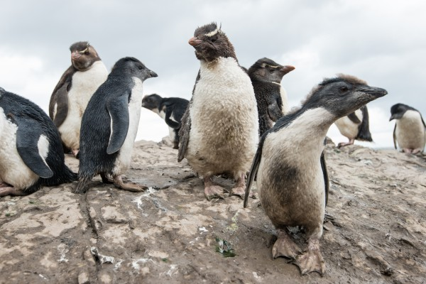 Southern Rockhopper Penguin (Eudyptes chrysocome chrysocome) chicks in the colony. Falkland Islands/Isla Malvinas.