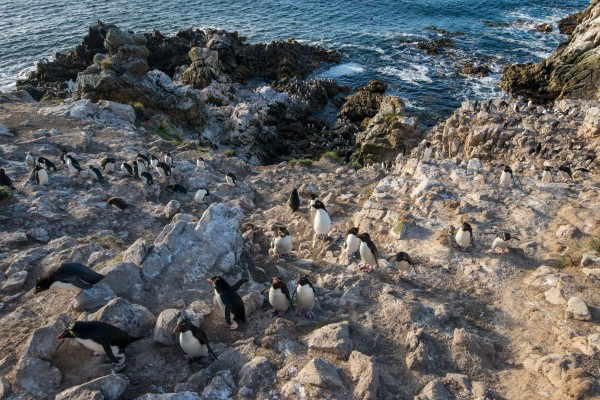 Adult Southern Rockhopper Penguins (Eudyptes chrysocome chrysocome) returning to the colony after being at sea. Pebble Island, Falkland Islands/Islas Malvinas.